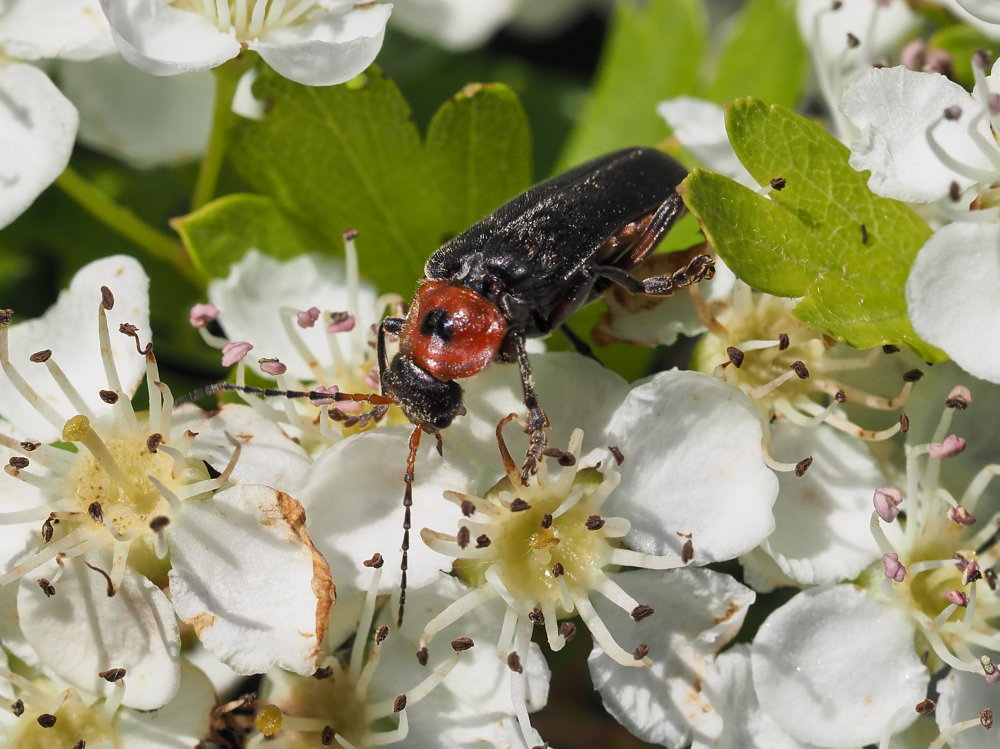 Cantharidae: Cantharis rustica