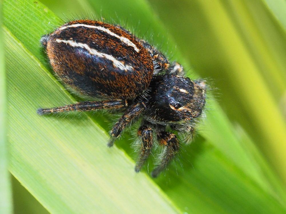 Evarcha cfr. jucunda e altro Salticidae - Ancona e provincia