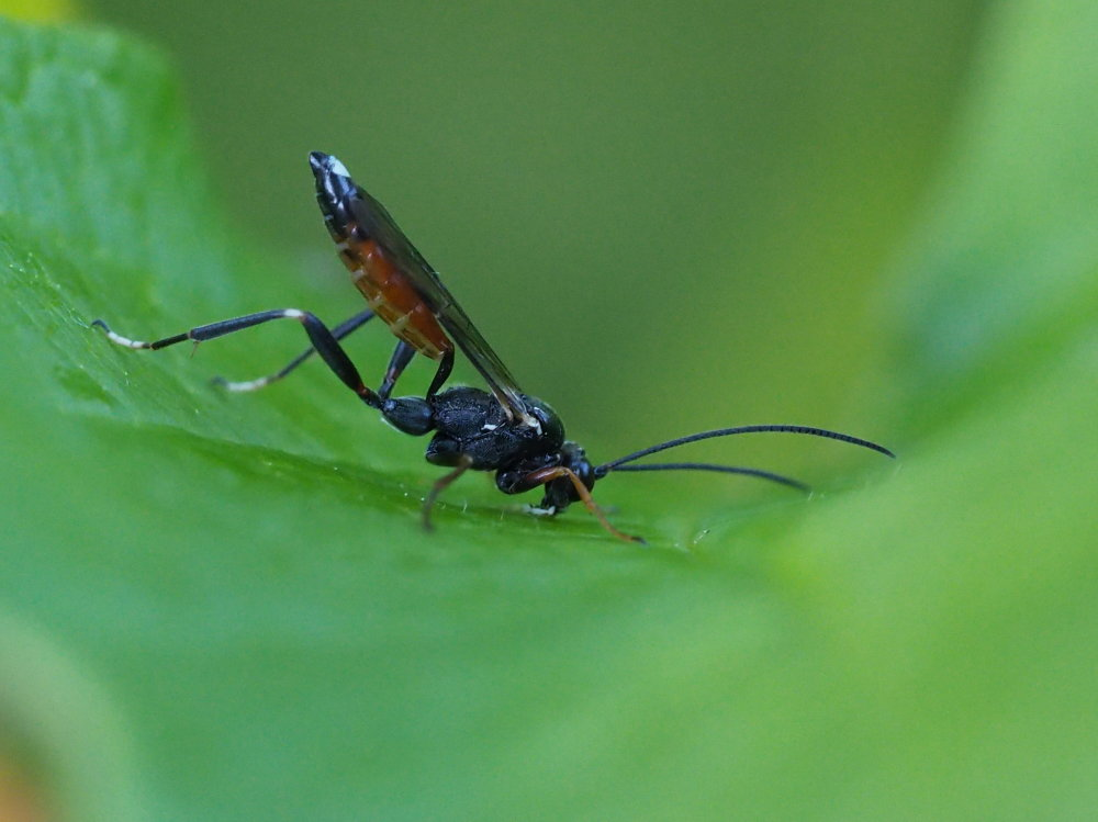 Ichneumonidae da identificare