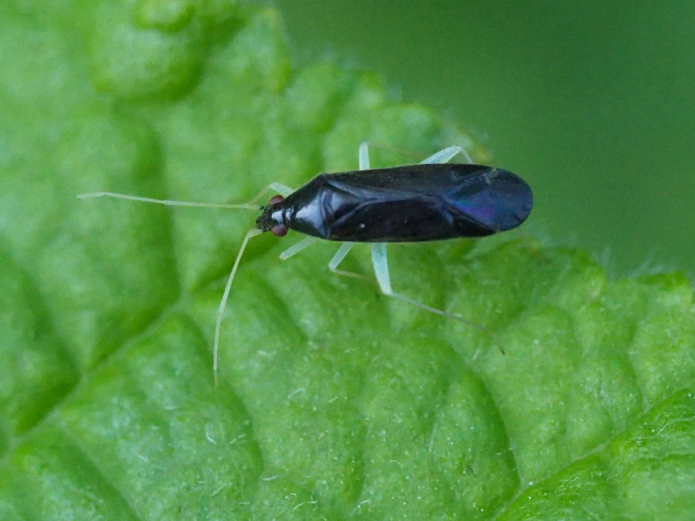 Miridae: Phylus coryli