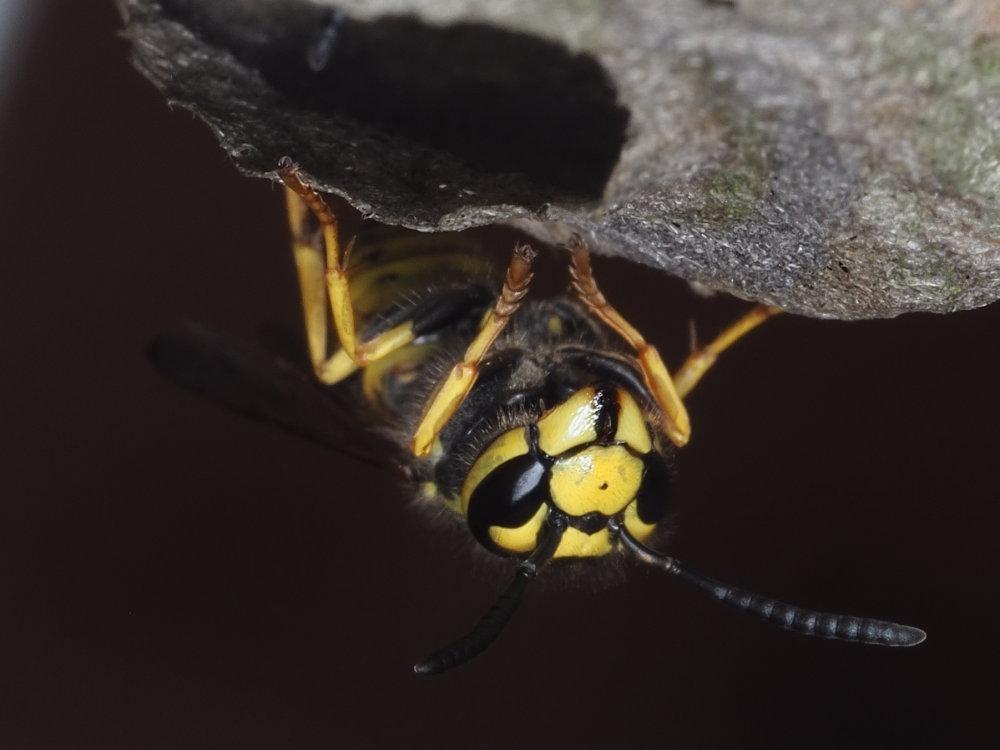 Vespidae: Dolichovespula? No,Vespula germanica