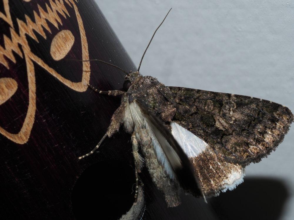 Aedia leucomelas - Noctuidae