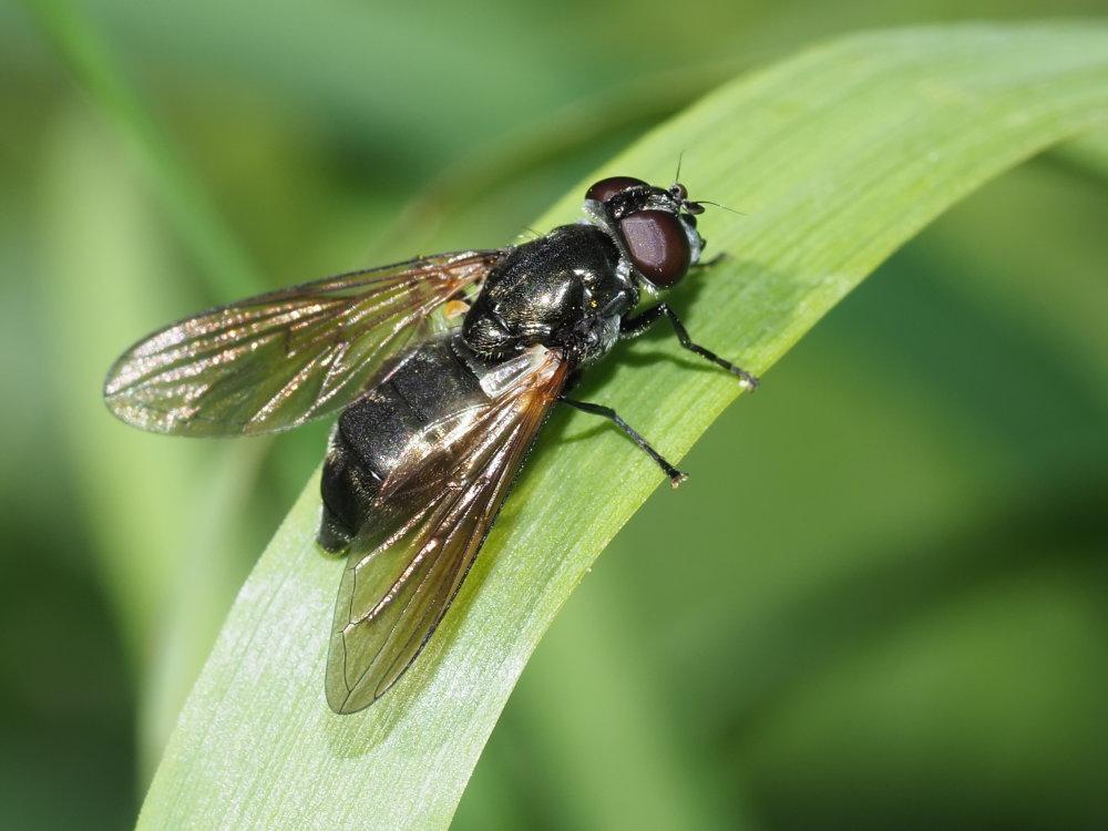 Syrphidae? Da identificare