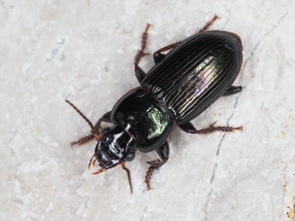 Carabidae: Harpalus dimidiatus? Sì !
