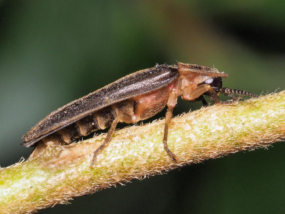 Lucciola da identificare:  Lampyris sp.