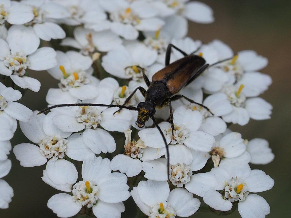 Cerambycidae: Stenurella melanura