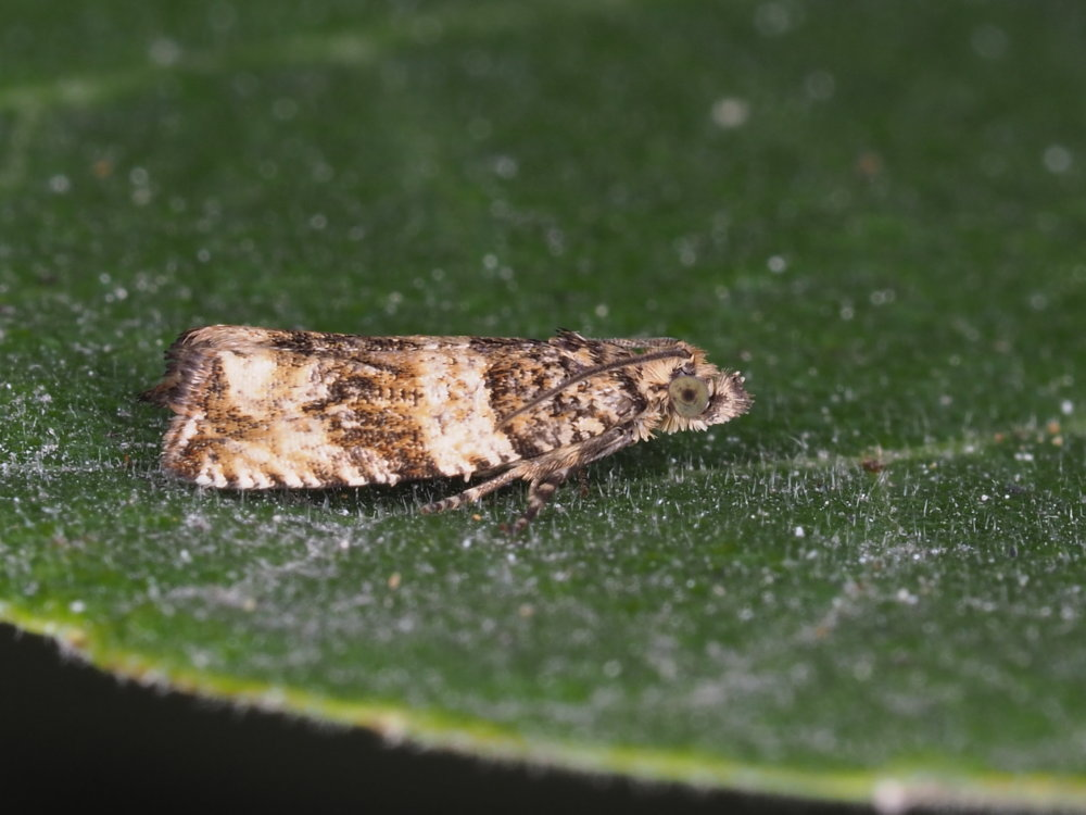 Celypha cespitana - Tortricidae