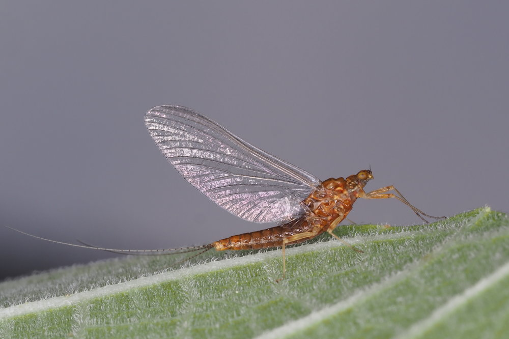 Serratella ignita (Ephemerellidae), femmina