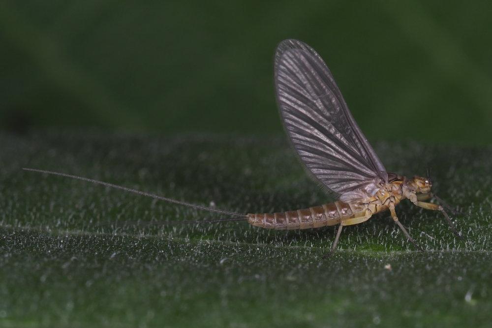 Baetis sp. (Baetidae), femmina