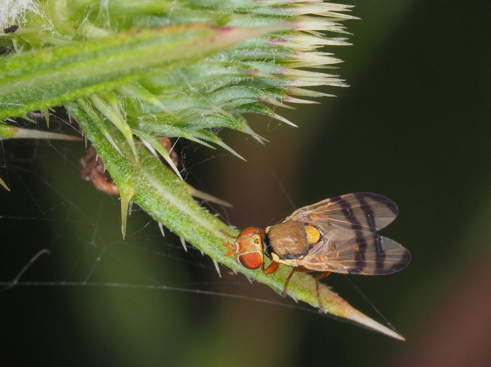 Tephritidae:  Urophora stylata?  Sì !