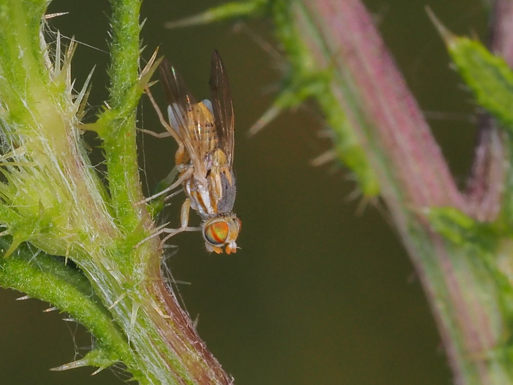 Tephritidae: Terellia longicauda o Terellia fuscicornis