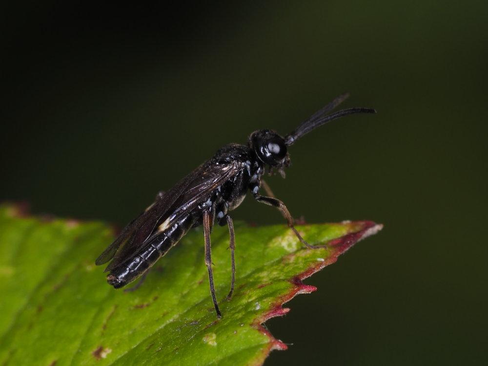 Tenthredinidae da identificare: Allantus didymus
