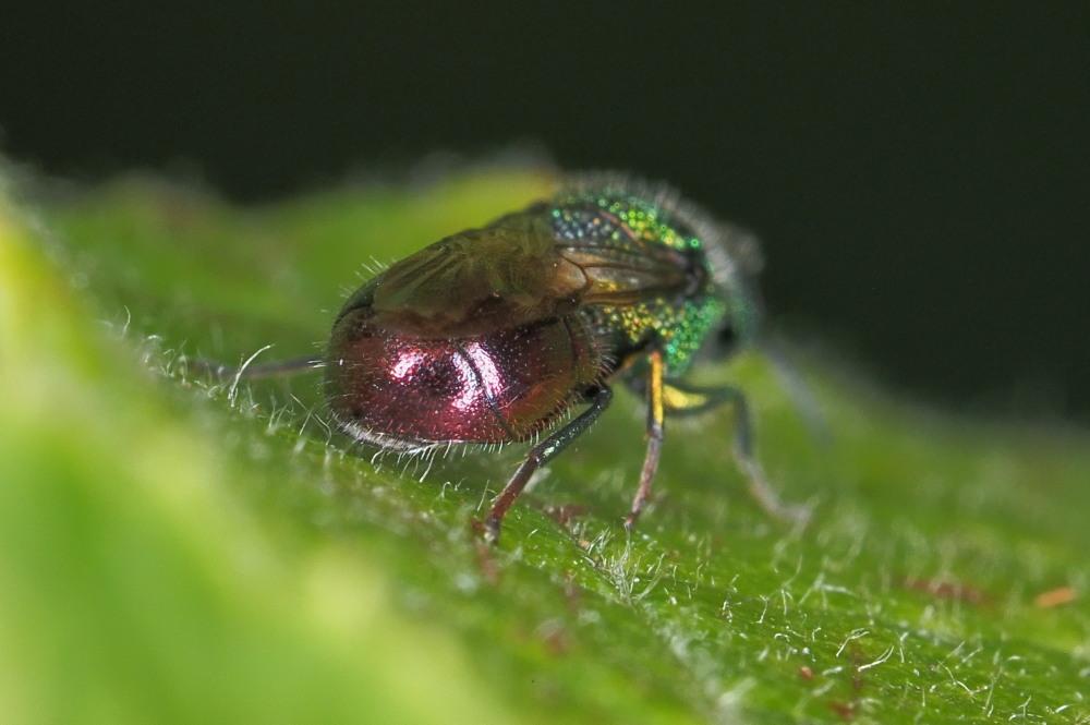Chrysididae: Pseudomalus auratus o Philoctetes punctulatus?
