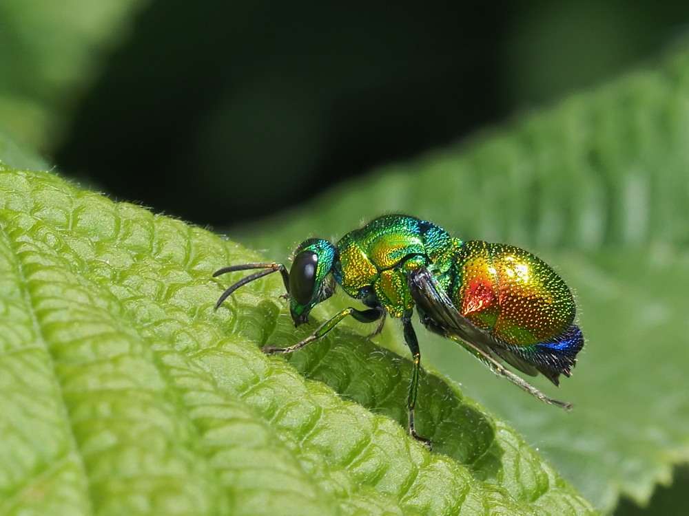 Chrysididae: Stilbum cyanurum o Stilbum calens? Stilbum cyanurum