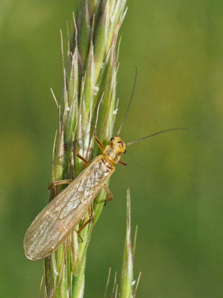 Perlidae? No, Perliodidae: Isoperla carbonaria