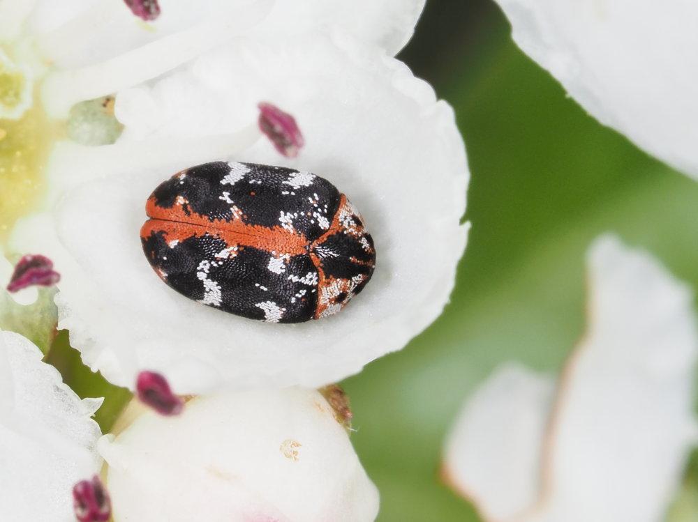 Dermestidae: Anthrenus scrophulariae? Sì.
