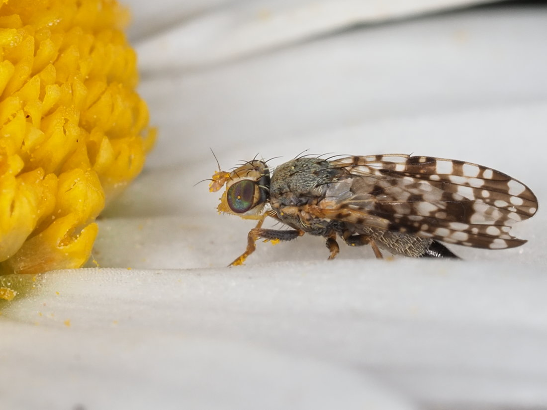 Tephritidae: Campiglossa producta, femmina