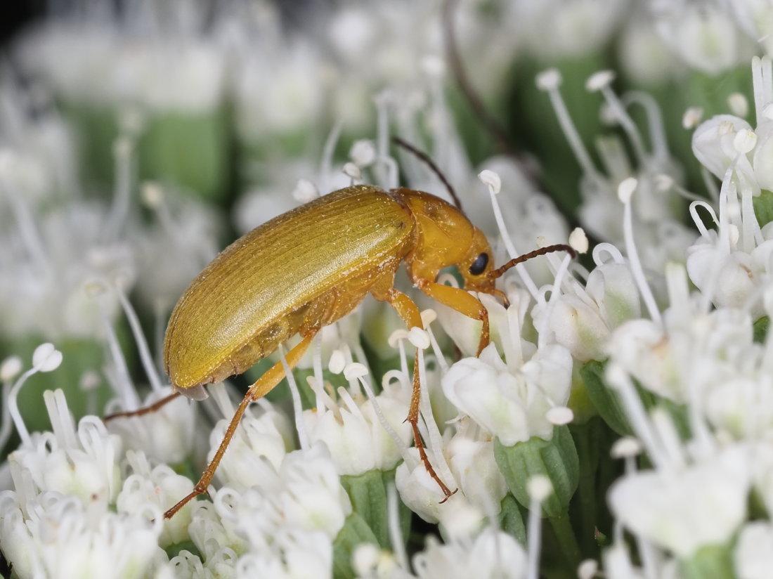 Tenebrionidae Alleculinae: Cteniopus sulphureus