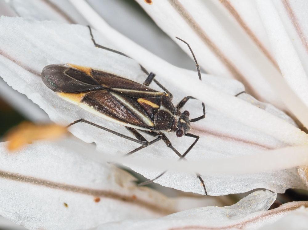 Miridae: Horistus orientalis
