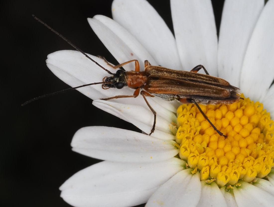 Oedemeridae: Oedemera podagrariae? Sì, femmina
