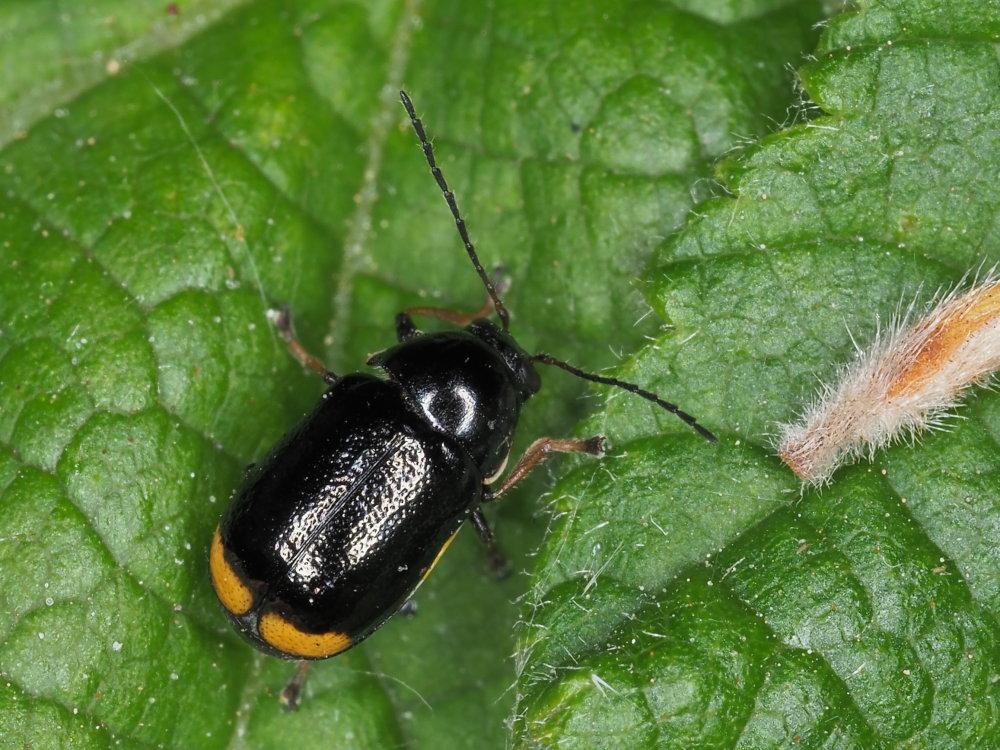 Chrysomelidae: Cryptocephalus renatae? Sì.