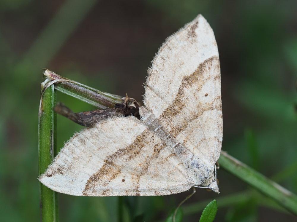Geometridae: Scotopteryx vicinaria da confermare
