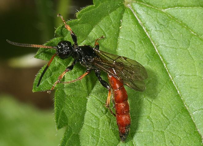 Vespa? No, Ichneumonidae: Alomya sp.
