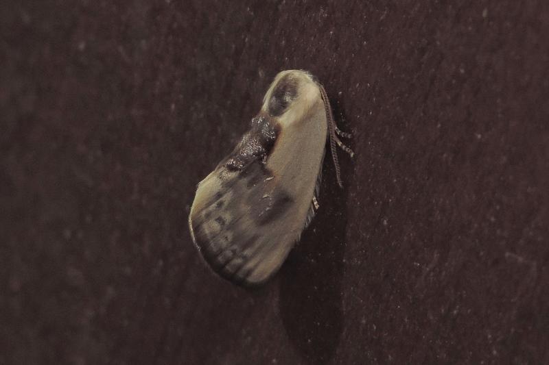 Cilix glaucata (Drepanidae)