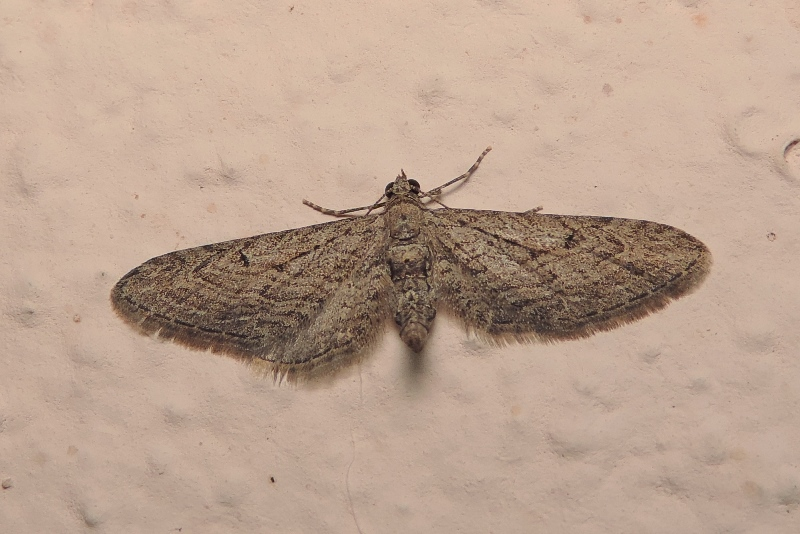 Eupithecia unedonata MABILLE, 1868