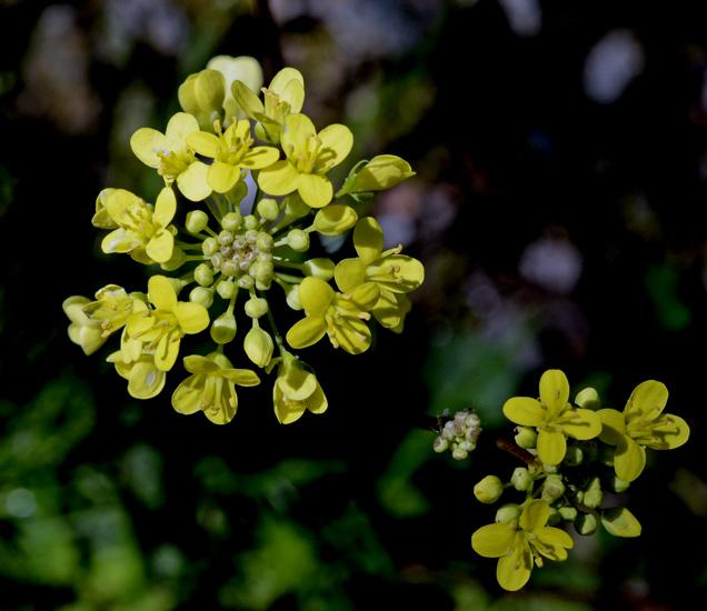 alla ricerca del nome: cfr. Brassica tournefortii