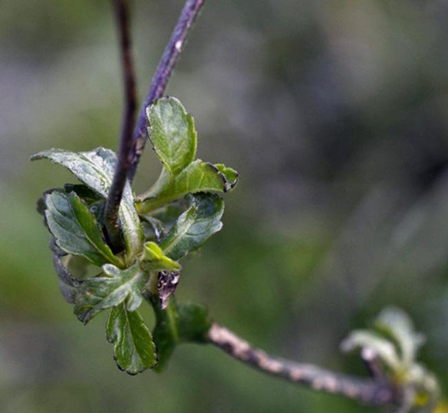 poche foto: cfr. Knautia integrifolia