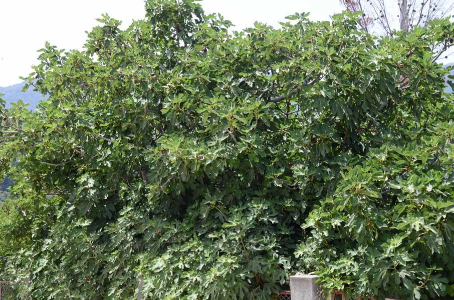 Ficus carica / Fico comune