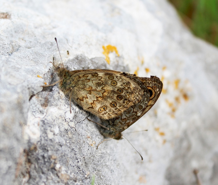 farfalla da Id - Lasiommata megera