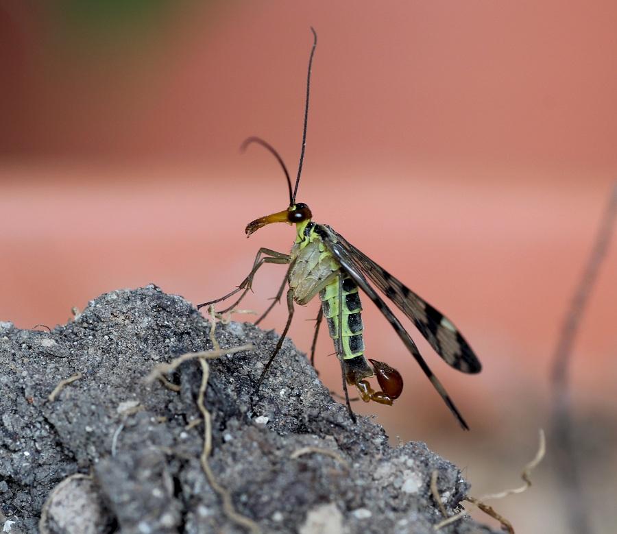 Da determinare:  Panorpa gr. cognata, maschio