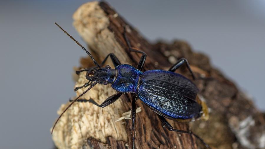 Carabidae: Carabus (Chaetocarabus) lefebvrei bayardi, maschio