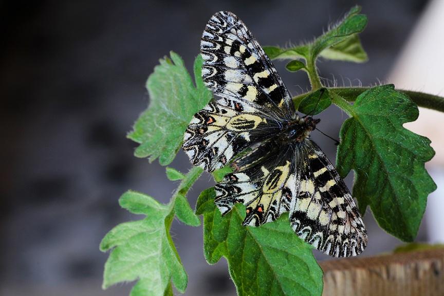 farfalla da id - Zerynthia (Zerynthia) cassandra