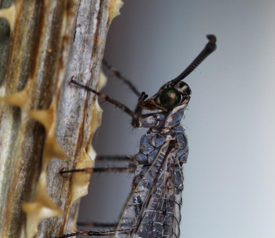 Myrmeleontidae: Euroleon nostras, femmina