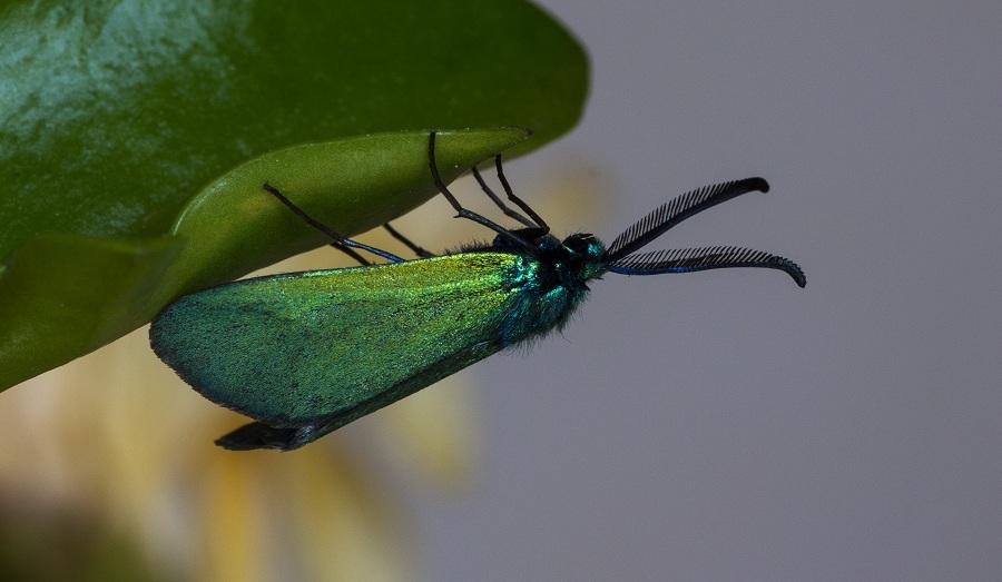 farfalla da det. - Adscita mannii, Zygaenidae
