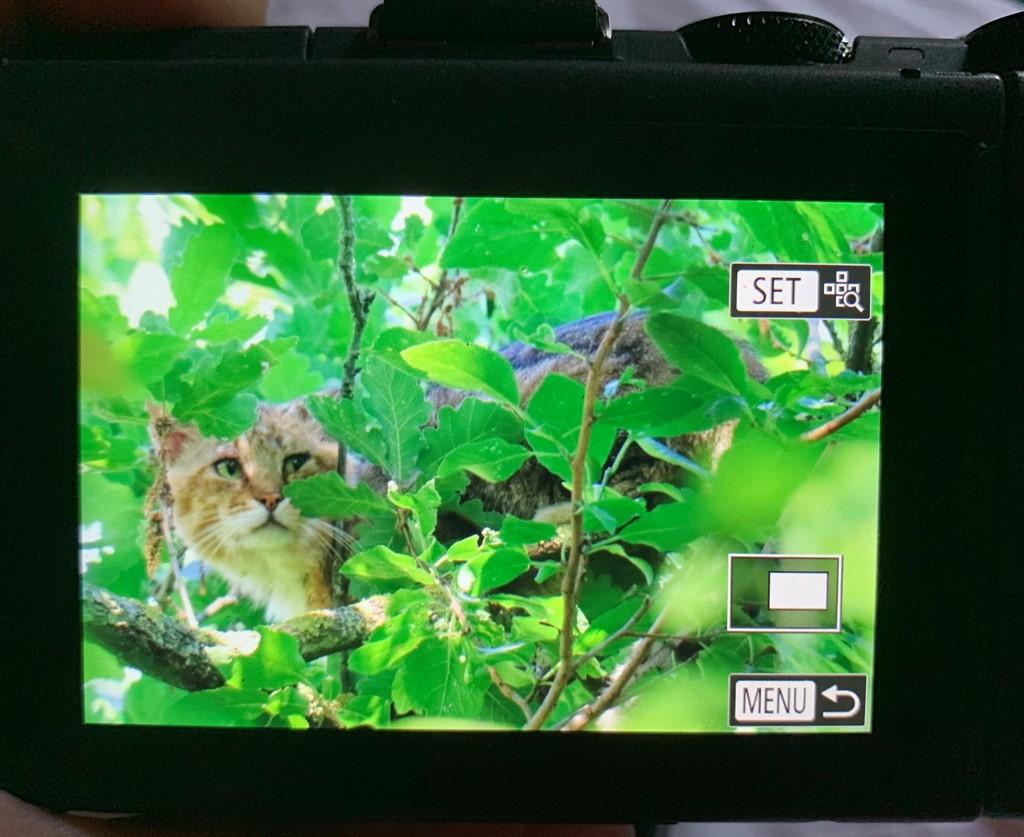 Gatto selvatico (Felis silvestris)?  Probabile !