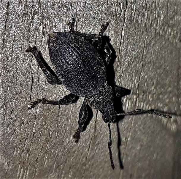 Curculionidae: Otiorhynchus armatus?  No, Otiorhynchus (Misenatus) lugens