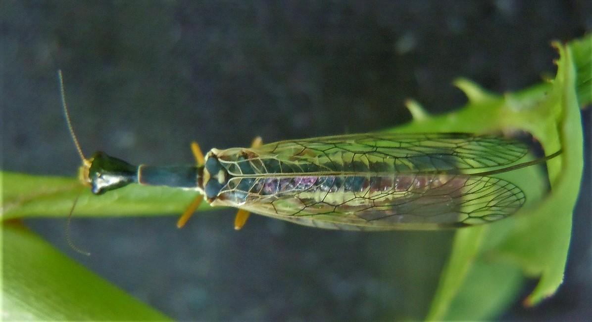 Ornatoraphidia flavilabris?