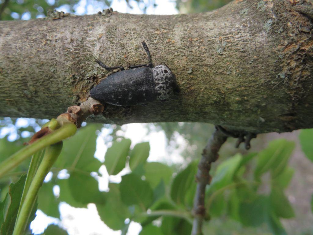 Capnodis tenebrionis (Buprestidae)