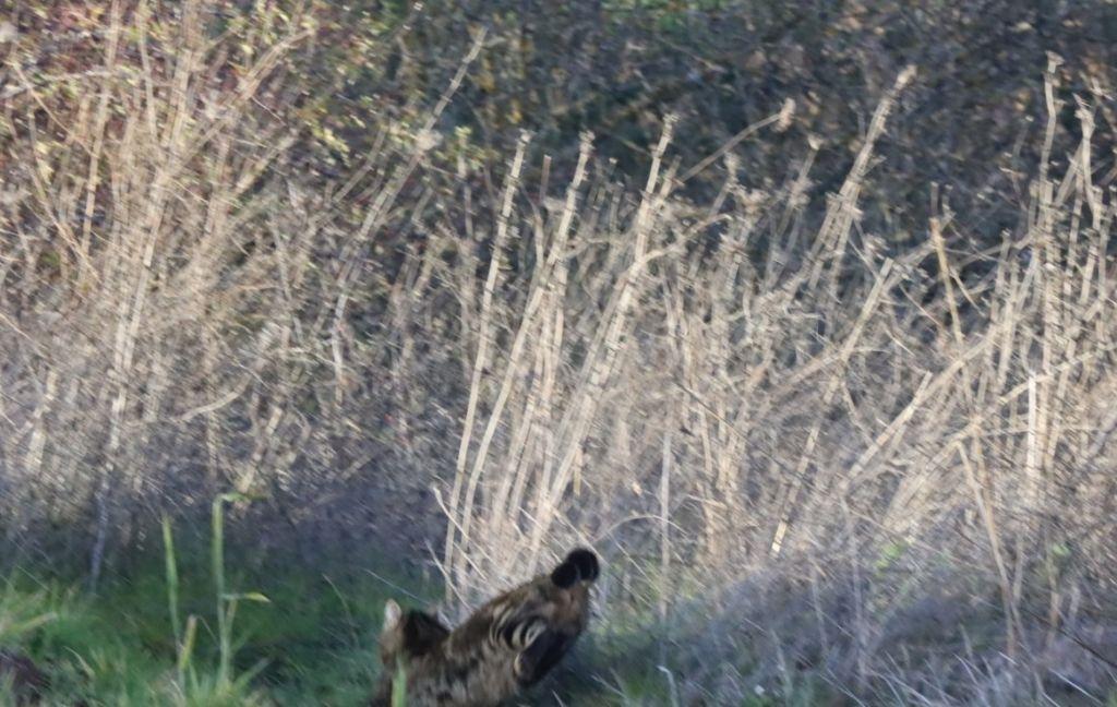 Gatto selvativo poco elusivo?  No, Gatto domestico