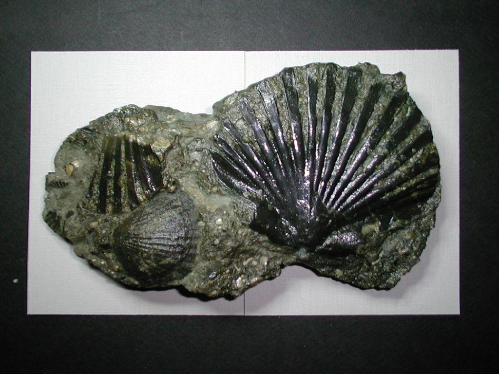 Bivalve fossile da deterrminare
