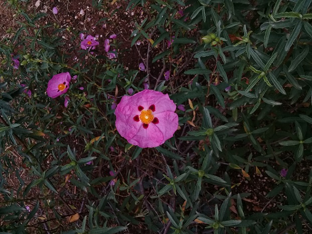 Cistaceae?  Sì,  Cistus x purpureus