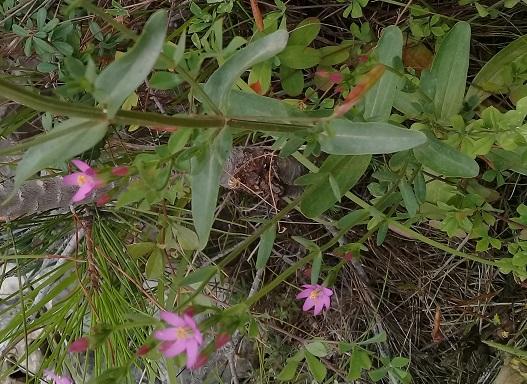 Gentianaceae:  Centaurium erythraea, anomalo (6-7 petali)