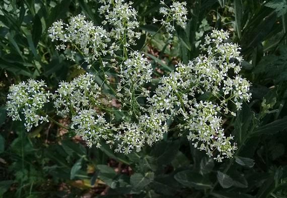 Buon odore:   Apiaceae?   No, Brassicaceae: Lepidium draba
