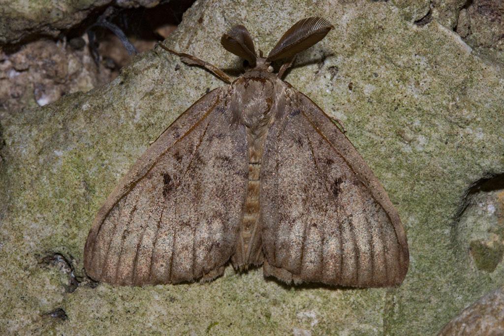 Falena da identificare - Lymantria dispar, Erebidae Lymantriinae