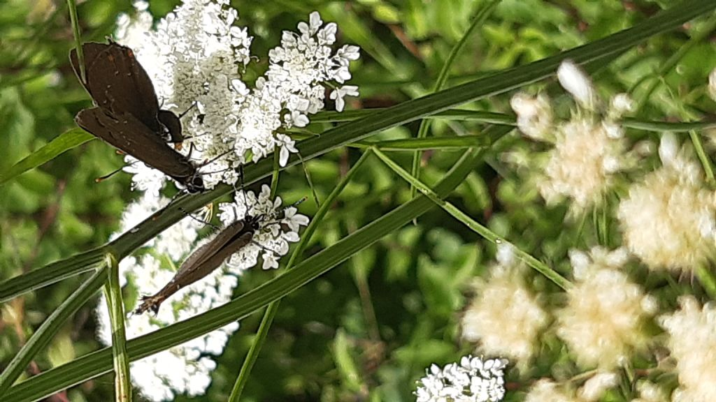 Satyrium ilicis (Lycaenidae)