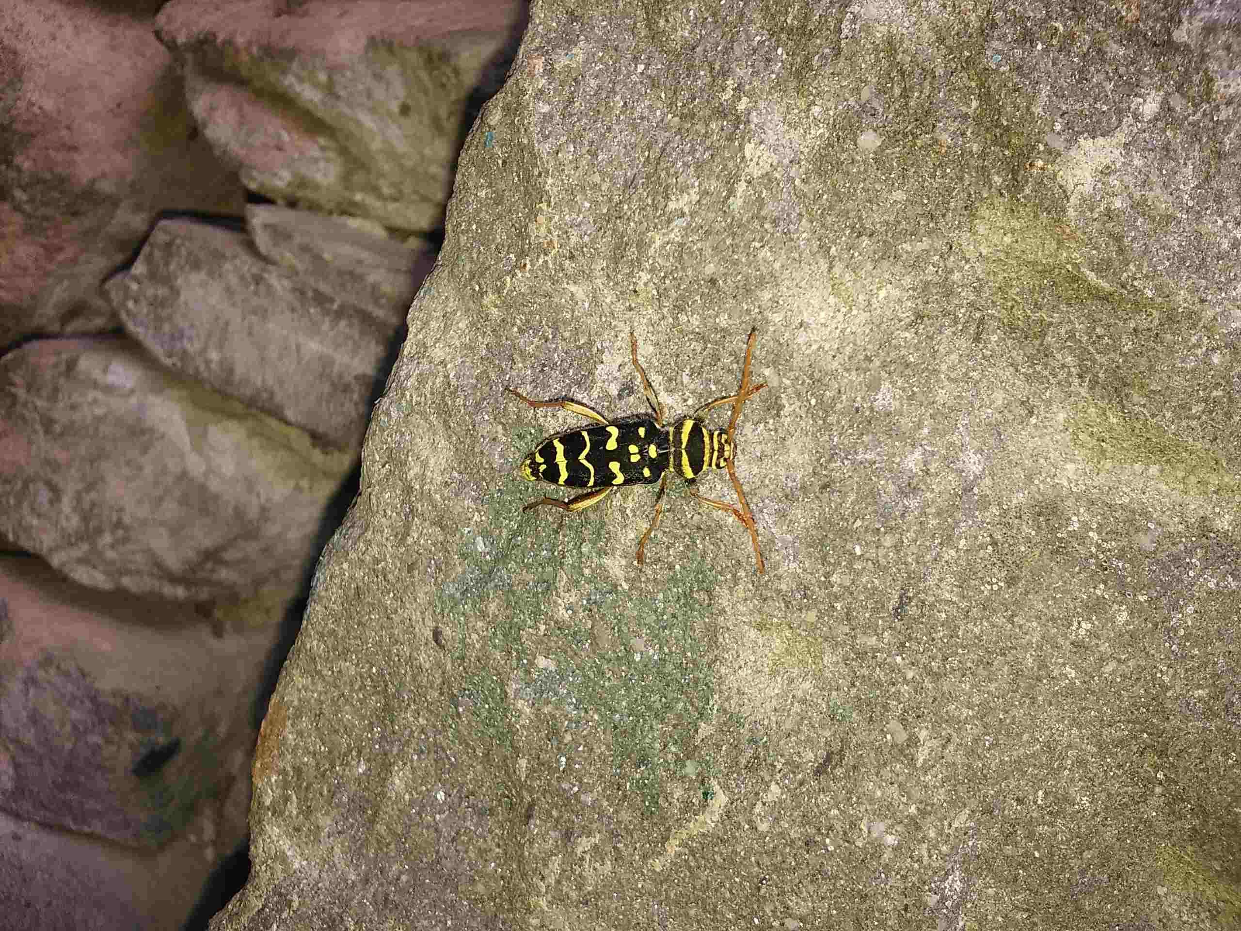 Aiuto per identificazione:  Plagionotus arcuatus, femmina (Cerambycidae)